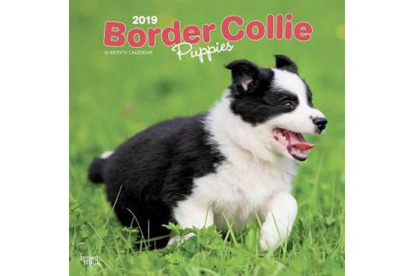 Border Collie Puppies 2019 Square Wall Calendar