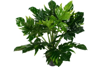 PHILODENDRON PLANT IN POT 80CM GREEN