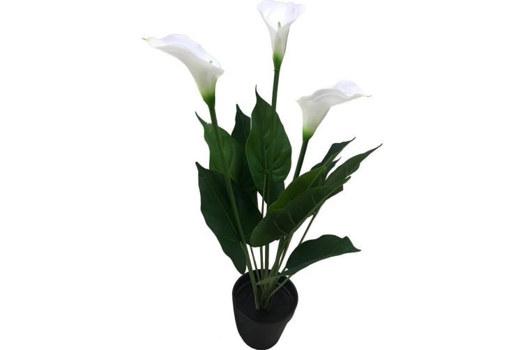 Holly Collection | Potted Calla Lily Plant | 60cm