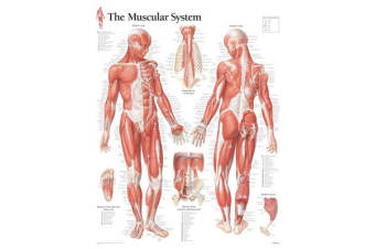 Muscular System with Male Figure Paper Poster