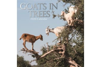 Goats in Trees  - 2020 Wall Calendar 16 month Premium Square 30x30cm (I)